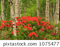 White birch and Renge azalea 001 1075477