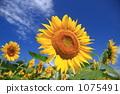 Midsummer sunflower 1075491