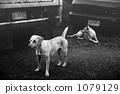black and white, monochrome, dog 1079129