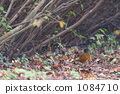 brown-headed thrush, wild bird, bird 1084710