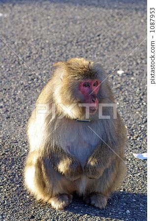 monkey, monkeys, land mammals 1087953