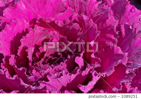 哈布坦紫 1089251