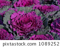 ฮาบูตันสีม่วง 1089252