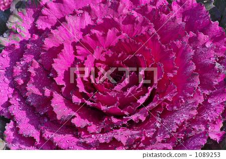 Habotan purple 1089253