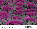 Habotan purple 1089256
