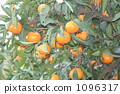 picking mandarins, satsumtree, mandarin orange 1096317