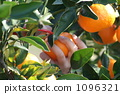 picking mandarins, satsumtree, mandarin orange 1096321