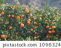 satsumtree, mandarin orange, tourist farm 1096324