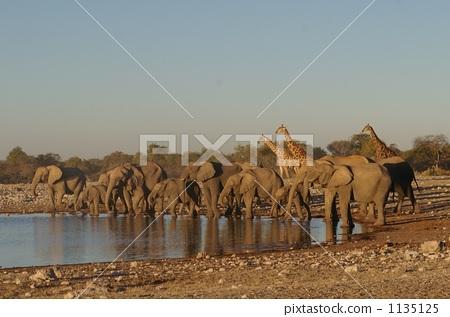 Elephant and giraffe 1135125