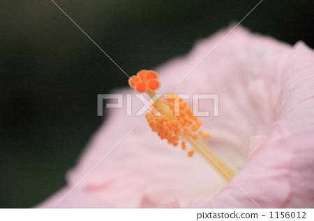 hibiscus, hachijo island, stamen 1156012