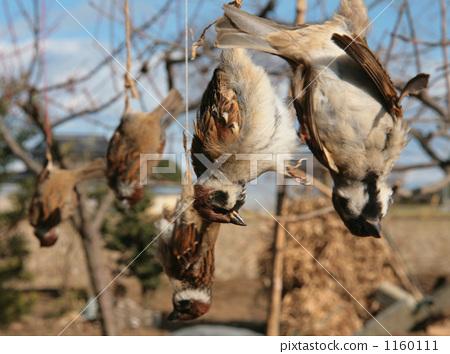참새의 시체 공중 본보기 害鳥 동물 학대 동물 애호 1160111