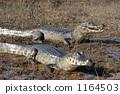 caiman, pantanal, wild 1164503