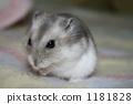 djungarian, hampster, hamster 1181828