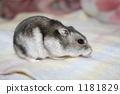 金丝熊 仓鼠 啮齿动物 1181829