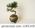 Kuromatsu盆景 1185108