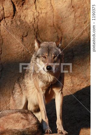 이리, 늑대, 카메라 시선 1190375