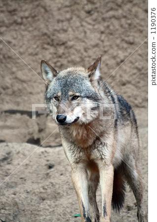 이리, 늑대, 육식동물 1190376