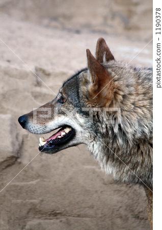 Wolf - โปรไฟล์ 1190378