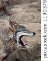Wolves - หาว 1190379