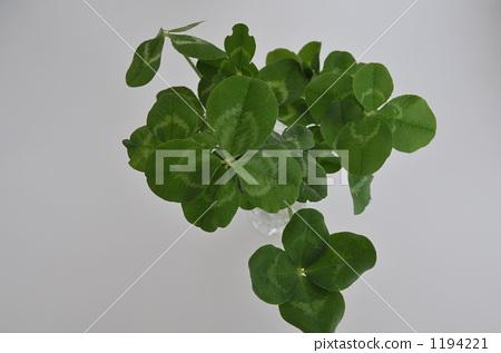 Four leaf clovers (plural) 1194221