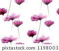 大波斯菊 花朵 花卉 1198003