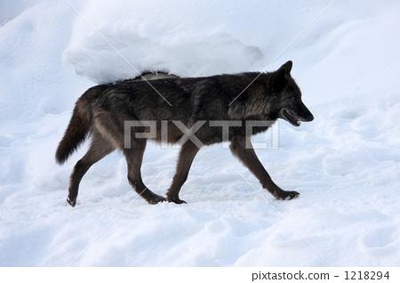 หมาป่าเดิน 1218294