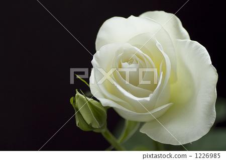 작은 봉오리를 붙인 흰색 장미 검은 배경 1226985