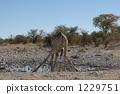 Giraffe in a drinking drink 1229751