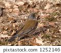 白腹鶇 冬候鳥 野生鳥類 1252146