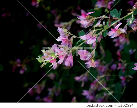 Flower of Hagi 1302554