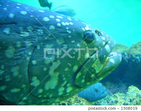 자이언트 구루빠 타마카이 물고기 생물 바다 물고기 바다 1308019