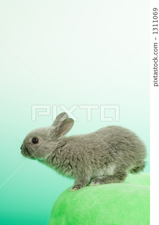 The Netherlands, rabbit, netherland dwarf 1311069