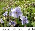 Spring flowers in full bloom Tachibukkosumirure 1334514