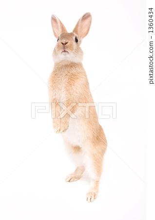 兔子拉伸 1360434