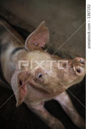 猪 牲畜 家畜 1387252