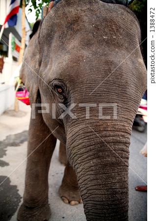 亚洲象 泰国 北方的 1388472