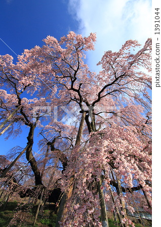 Cherry blossoms of the fall 1391044