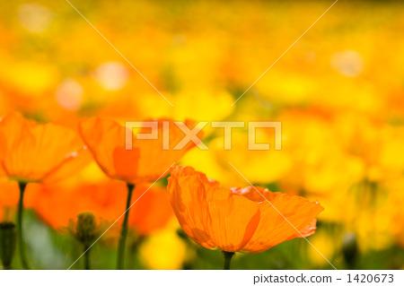 สวนดอกไม้ของไอซ์แลนด์งาดำ 1420673
