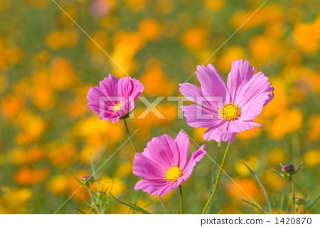 大波斯菊 花朵 花卉 1420870