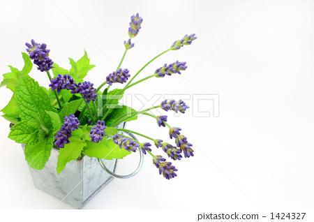lavender 1424327
