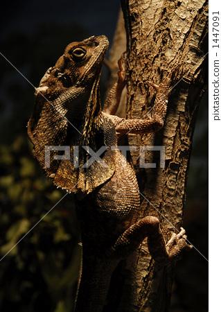 傘蜥蜴 1447091