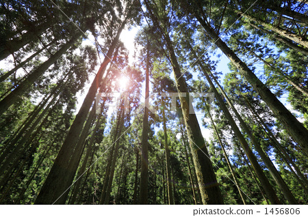 Cedar forest 1456806