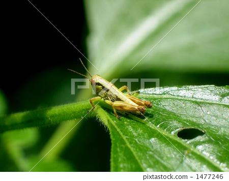 잎 위에 메뚜기 1477246