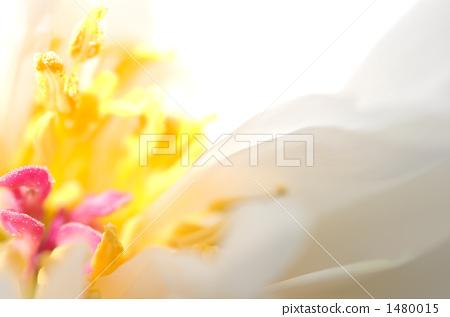 peony, flower upload, close up 1480015
