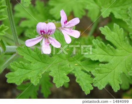 Rose geranium 1484099