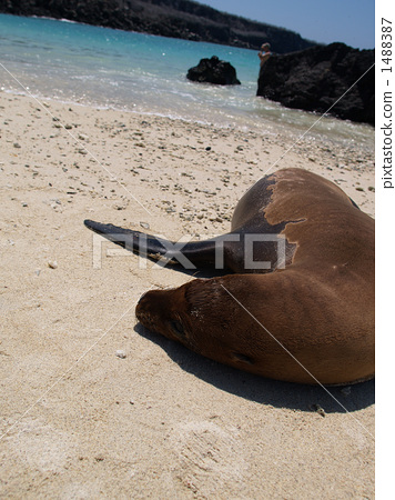 Sea lions in the Galapagos Islands 1488387