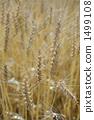 米诺利的麦田 1499108