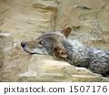 หมาป่า 1507176