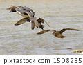 鸭子 鸭 候鸟 1508235