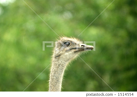 ostrich, terrestrial animal, ostriches 1514554